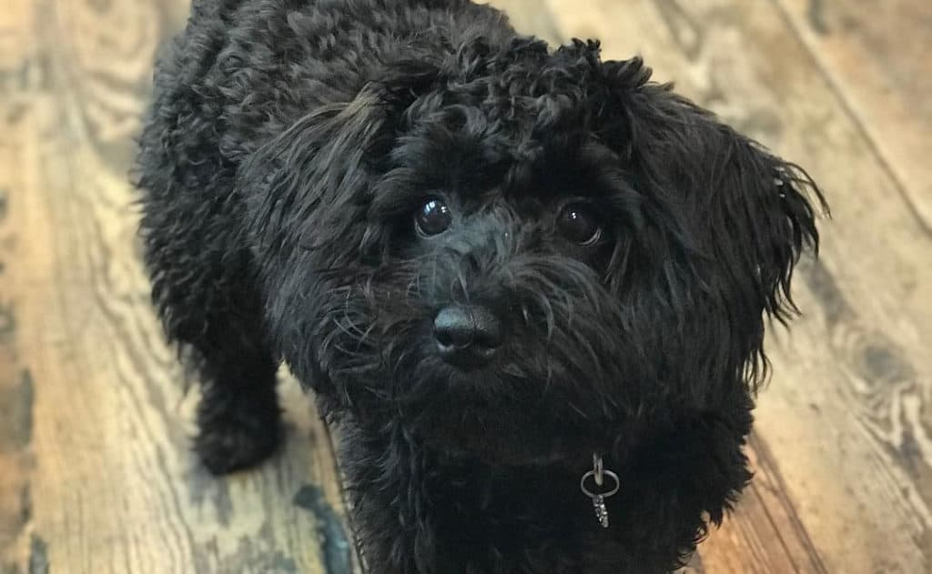 black schnoodle dog face