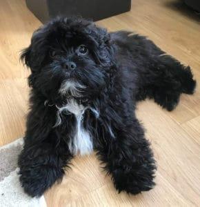 black shih poo poodle mix
