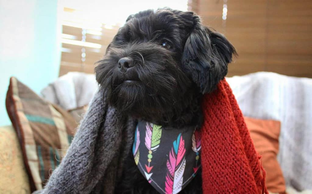 black shih poo dog