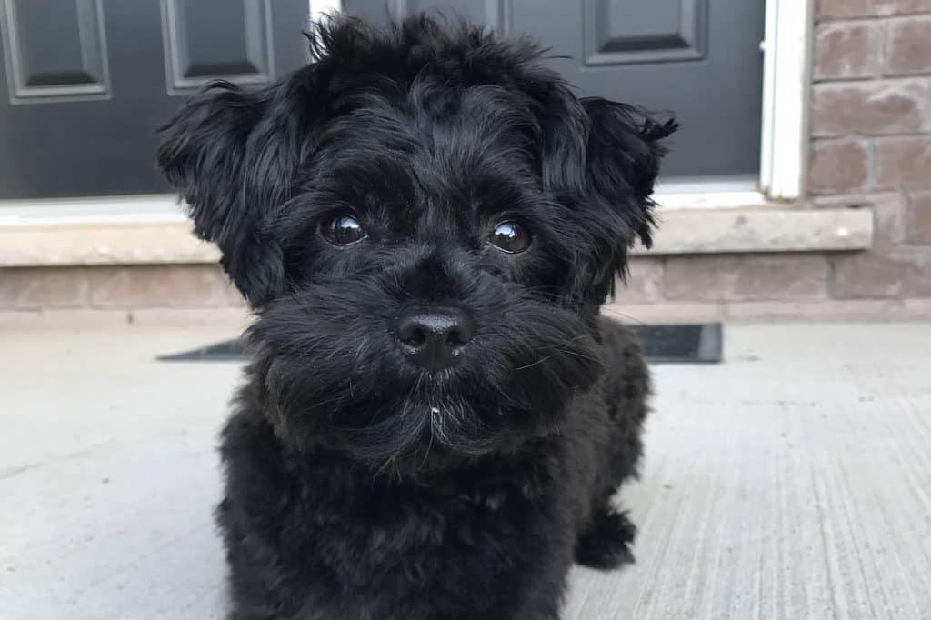 black yorkie poo puppy