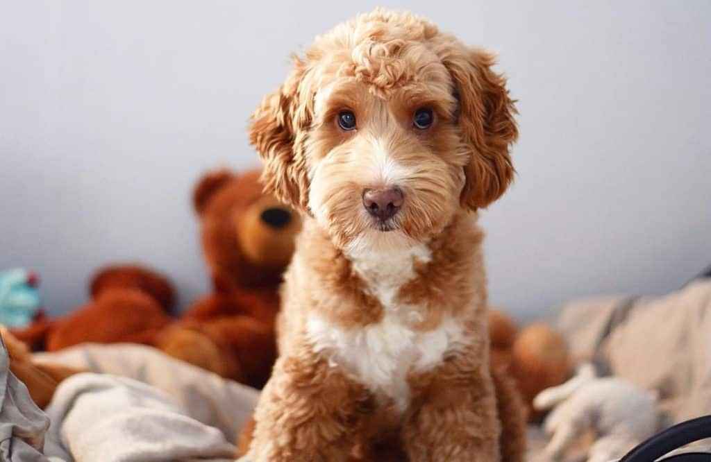 brown cockapoo dog