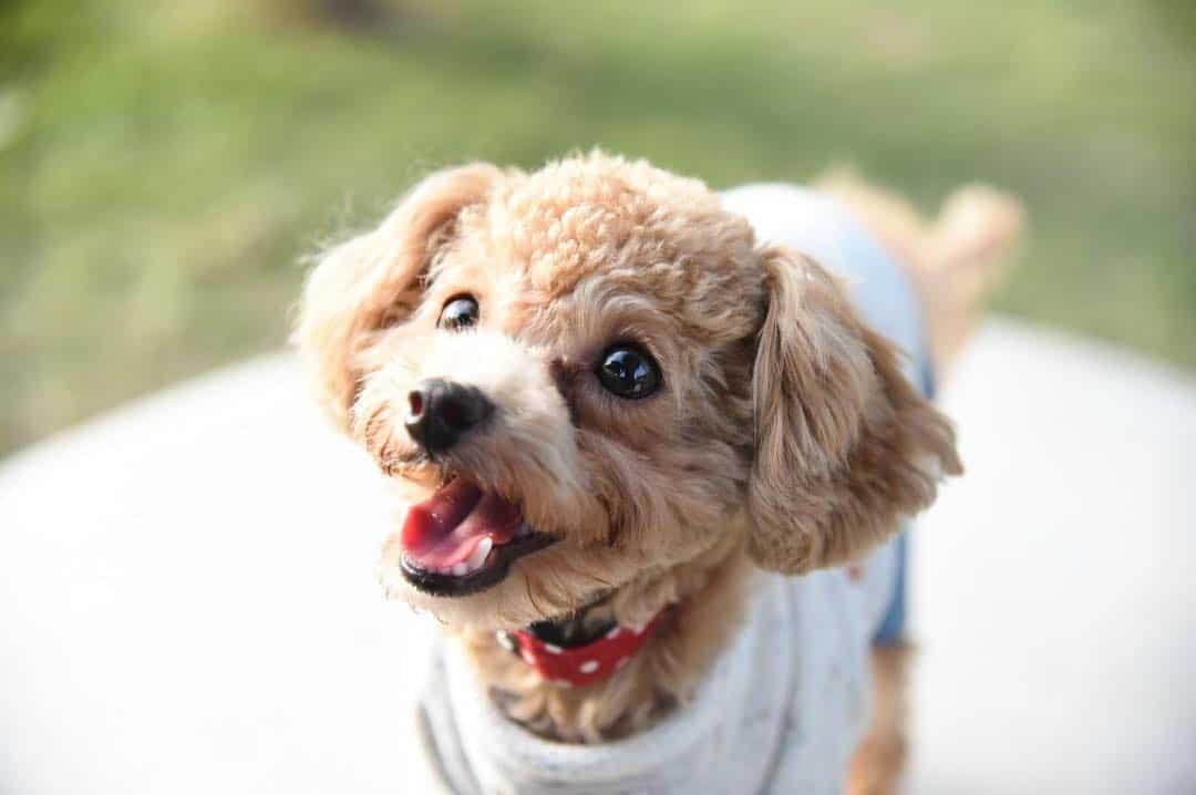 chipoo chihuahua poodle mix dog
