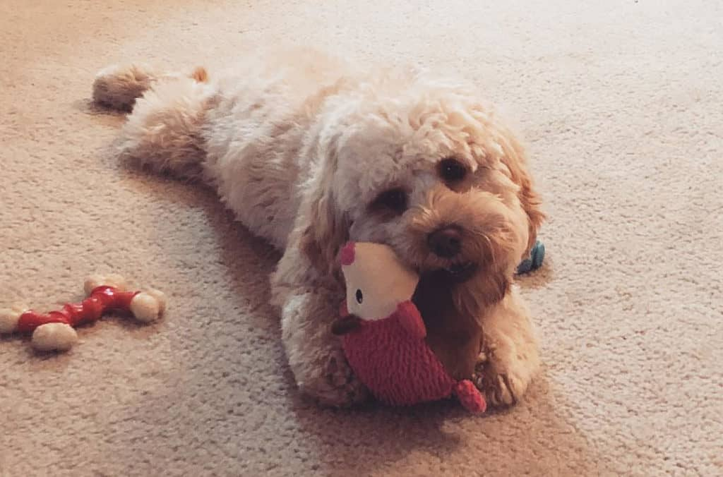 cockapoo dog playing