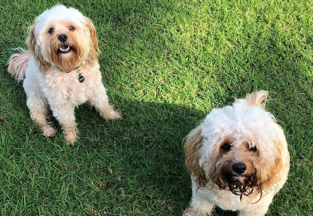 cream cavoodle puppies