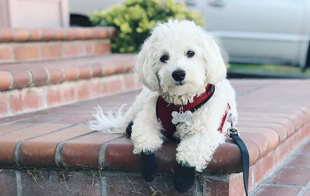 12 Amazing things About Maltipoo