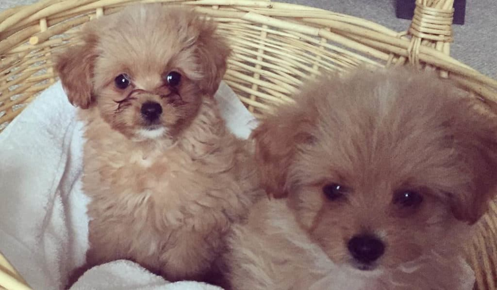 pomeranian poodle mix puppies