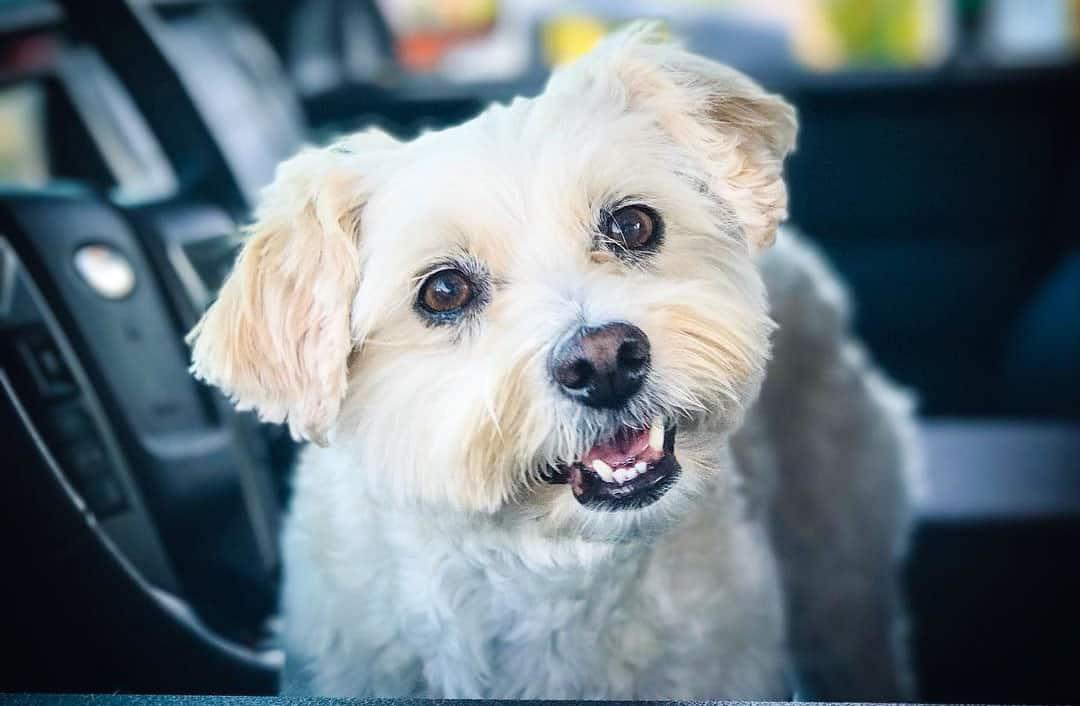 schnoodle schnauzer poodle mix dog