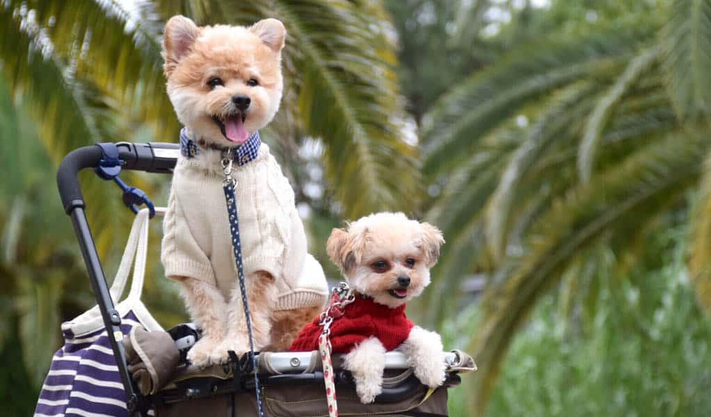 teo pomapoo puppies