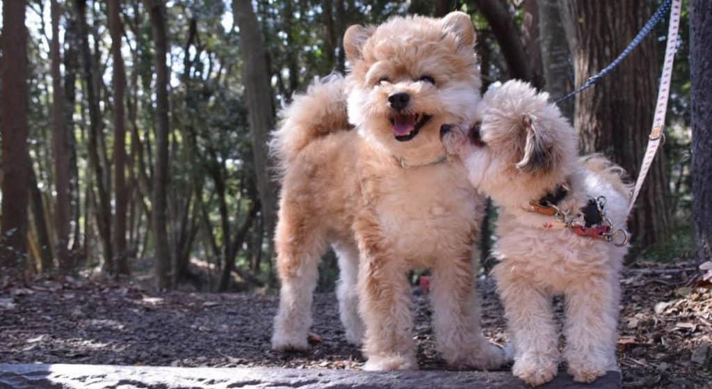 two-pomapoodle-puppies-are-poodle-mixes-smart