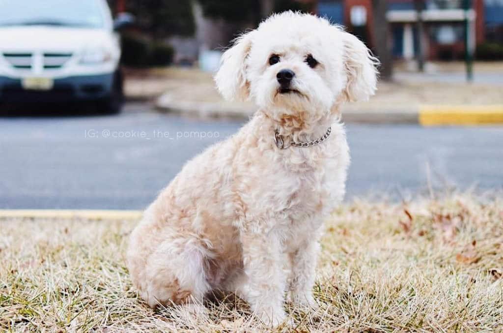 white pomadoodle dog