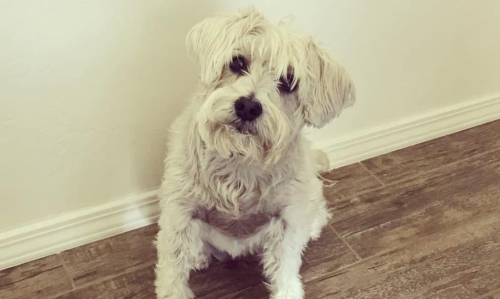 white schnauzer poodle mix dog