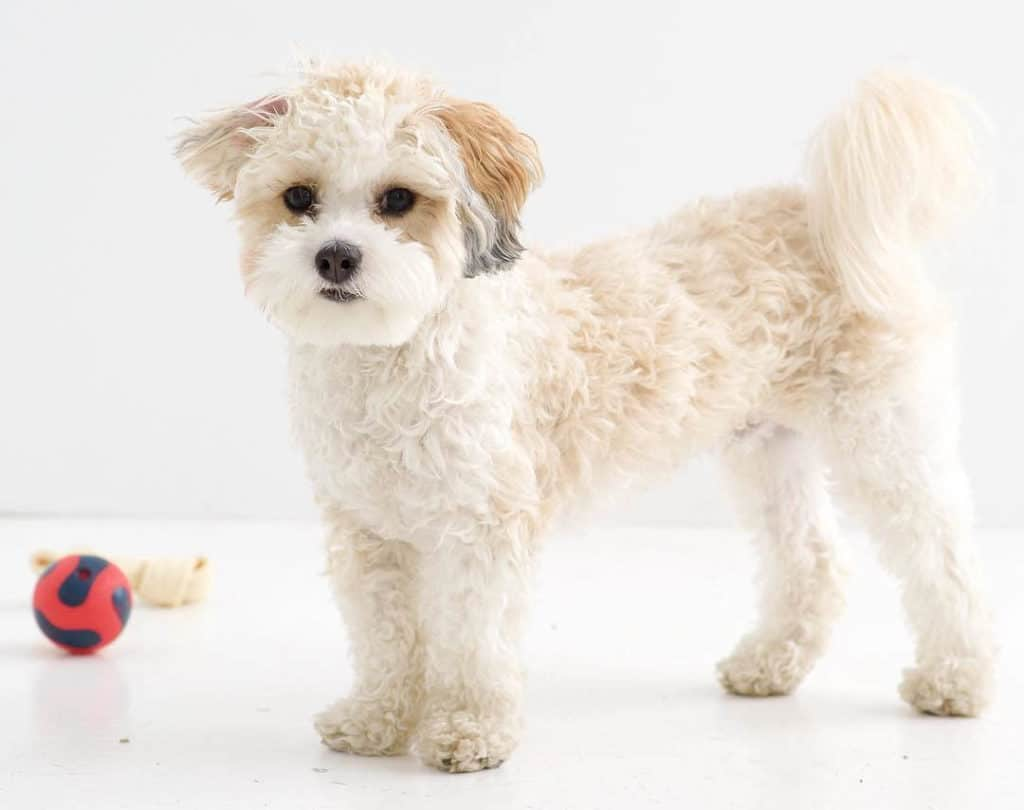 white shih poo puppy