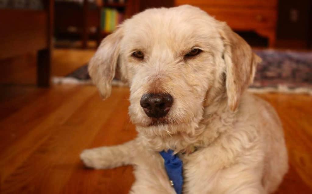 bassetoodle dog poodle mix