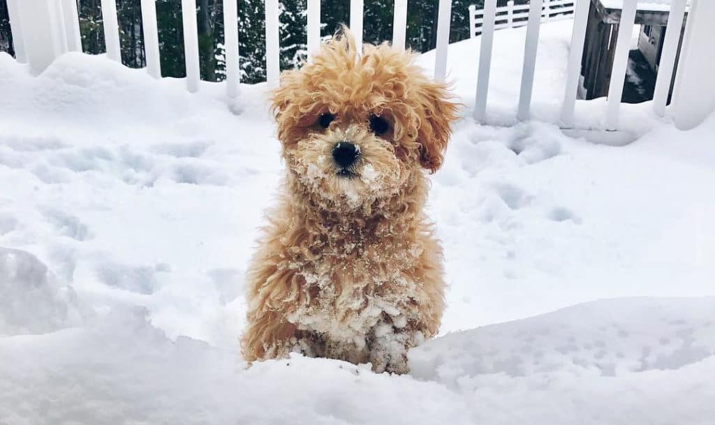 brown poochon puppy
