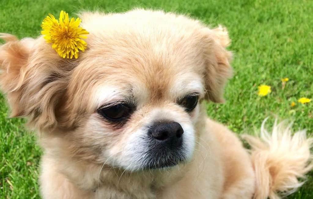 cute peekapoo dog