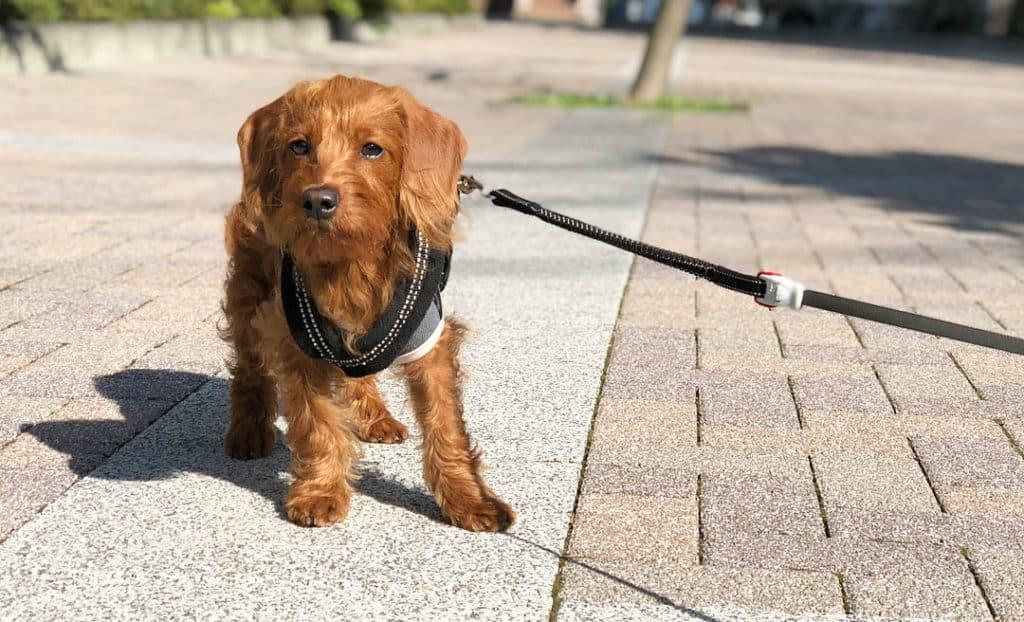 doxiedoodle dachshund poodle mix dog