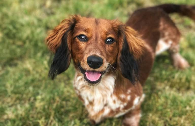 doxiepoo dachshund poodle mix dog