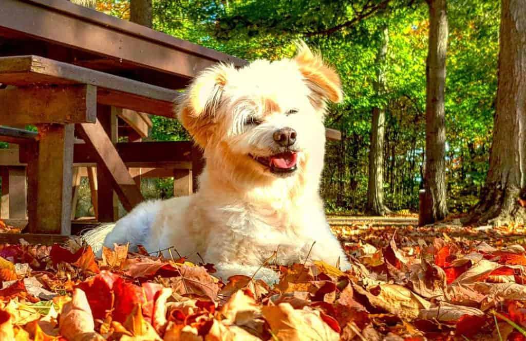 eskapoo american eskimo poodle mix dog