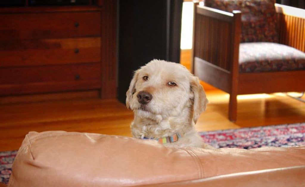 funny bassetoodle dog
