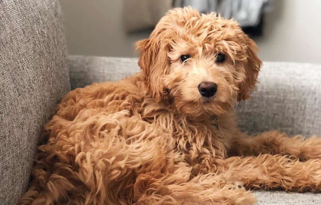 goldendoodle golden retriever poodle mixes dogs