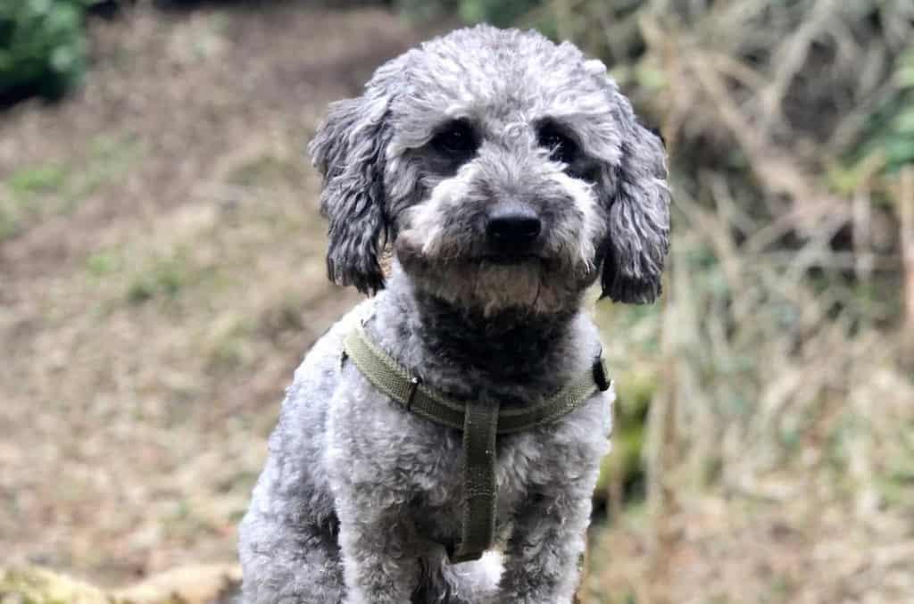 Poodle Mixes Top 21 Most Popular Poodle Mix Dog Breeds