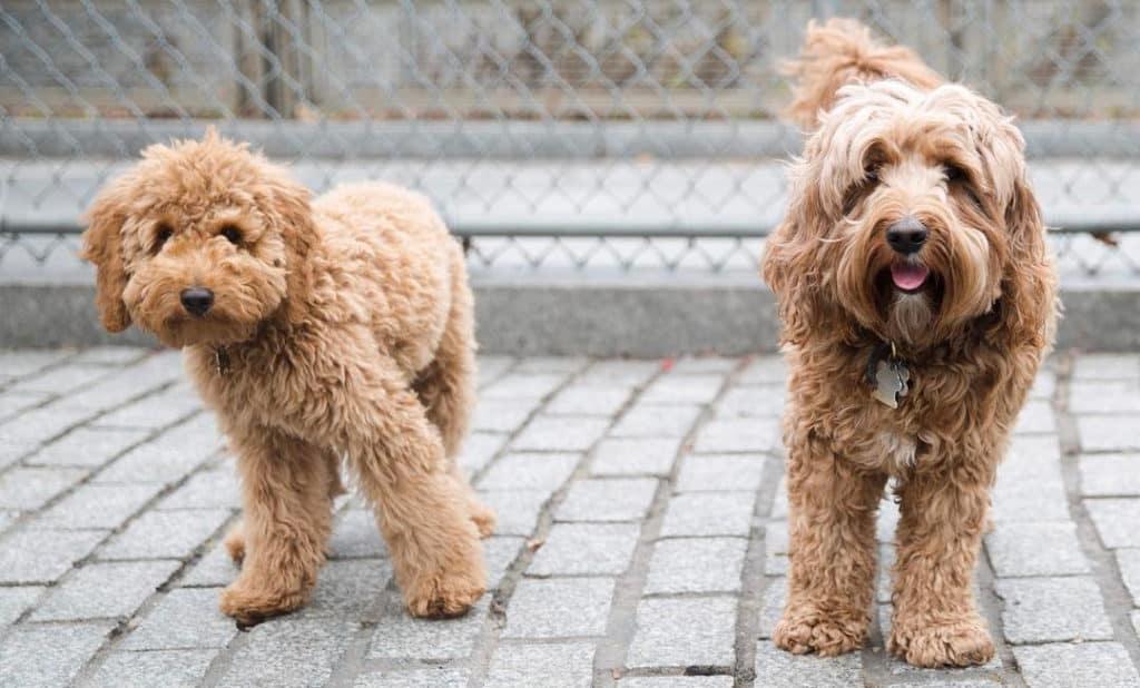 labradoodle labrador poodle mixes dogs