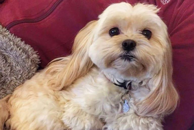 lhasaPoo lhasa apso poodle mix