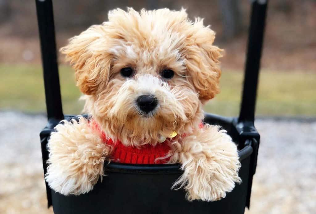poochon bichon frise poodle mix dog