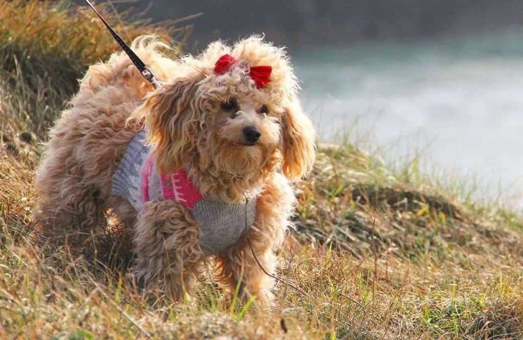 poochon dog poodle mix dog