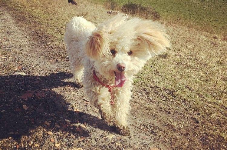 poochon dog smile