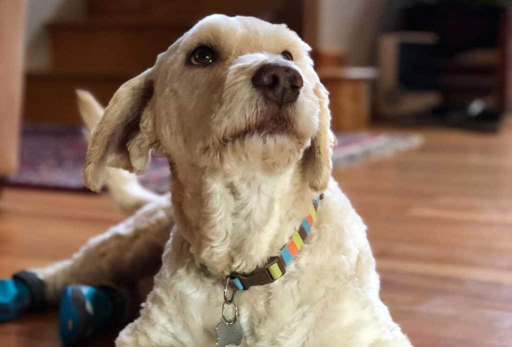 white bassetoodle poodle mix