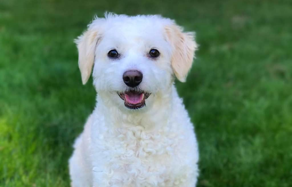 white doxiedoodle puppy