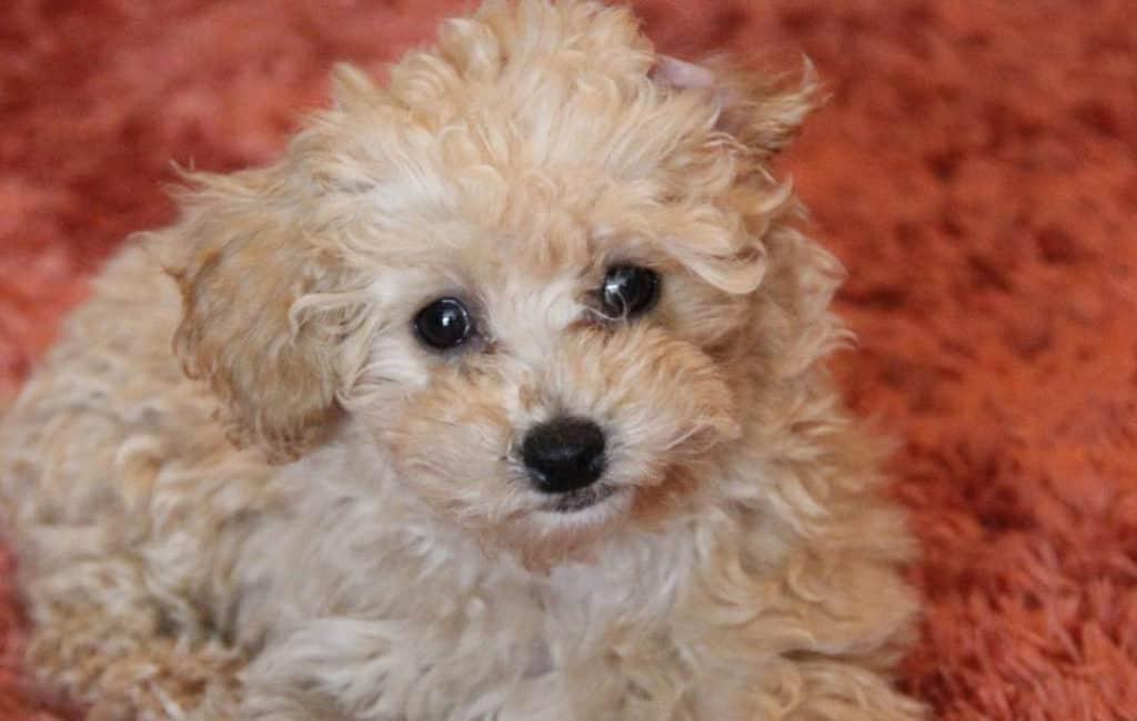 white poochon puppy