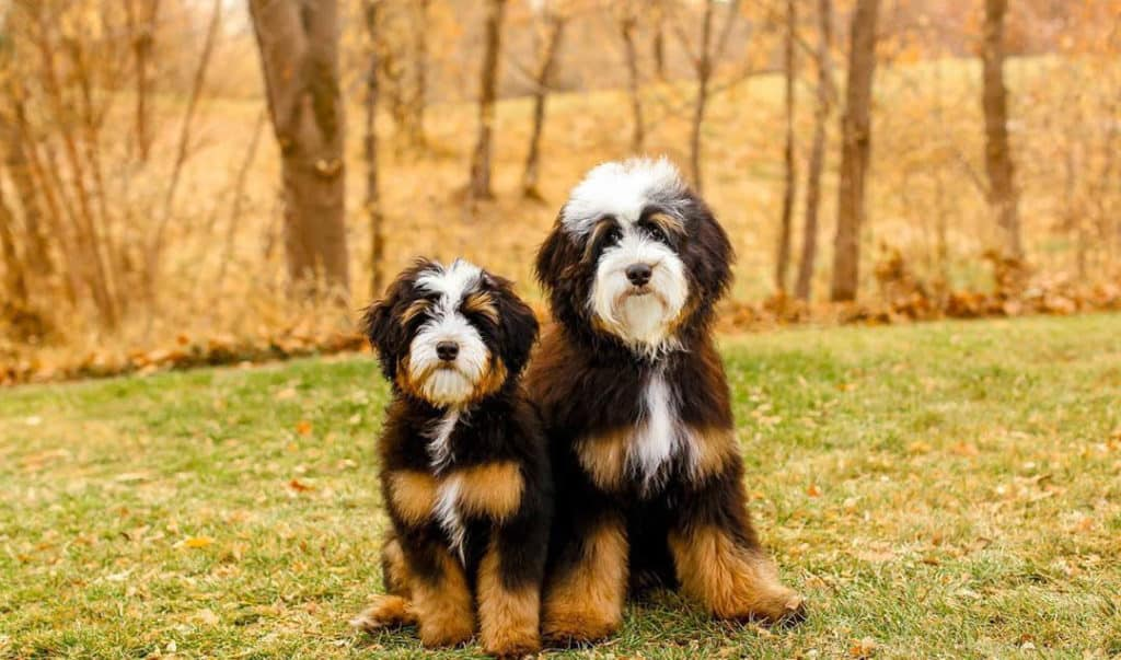 bernedoodle-puppies-4