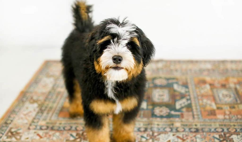 bernedoodle-puppy-2