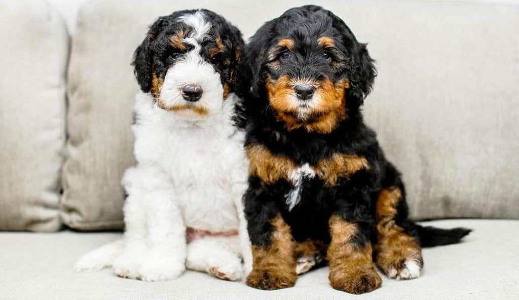 bernedoodle-two-puppies