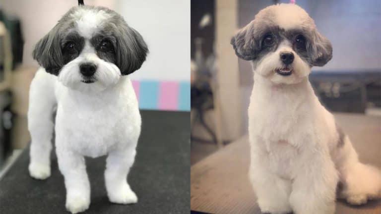bossi-poo-dog-breed