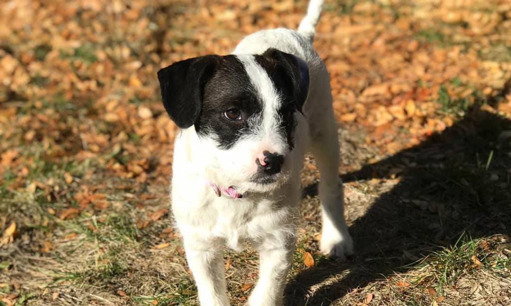 boxerdoodle-puppy