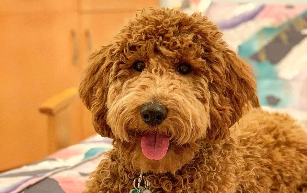 what-poodle-mix-is-best-goldendoodle