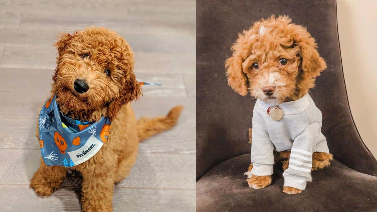 goldendoodle-dogs-facts