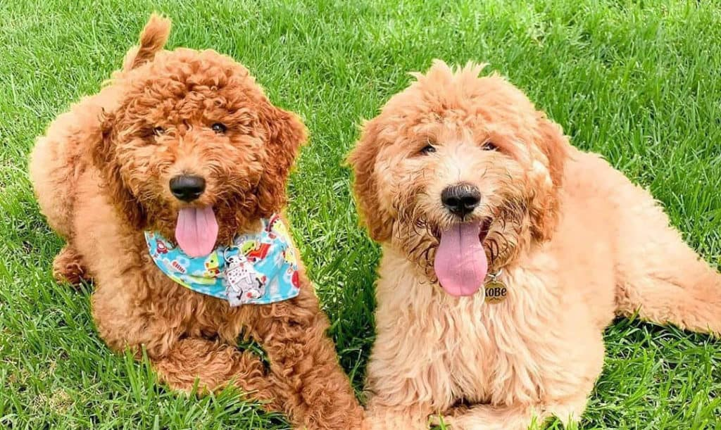 goldendoodle-puppies-outdoor