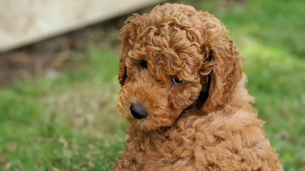 goldendoodle-puppy
