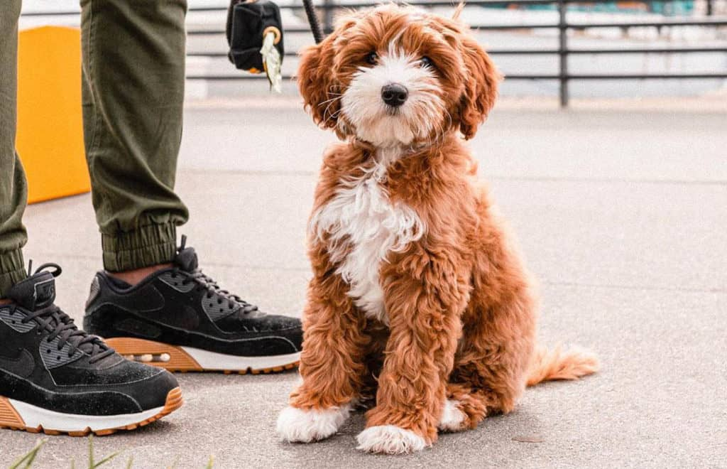 labradoodle dog brown