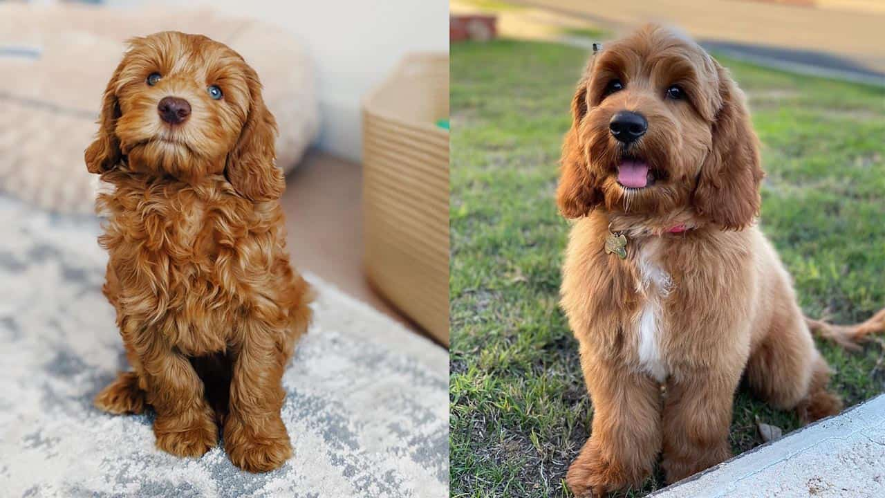 10 Amazing Things About Labradoodle Dog