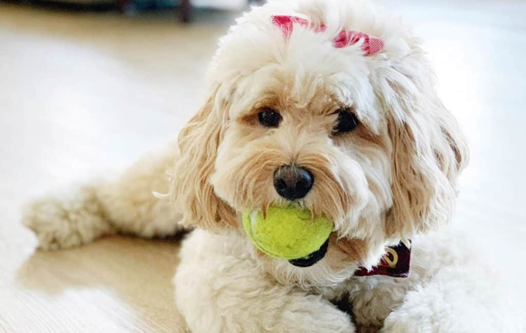 labradoodle dog white
