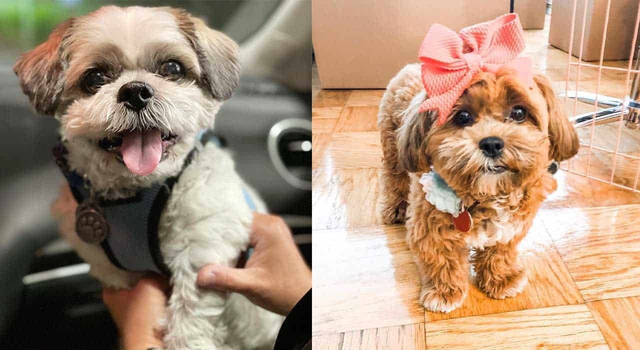 Amazing-facts-about-shih-poo-dog-breed