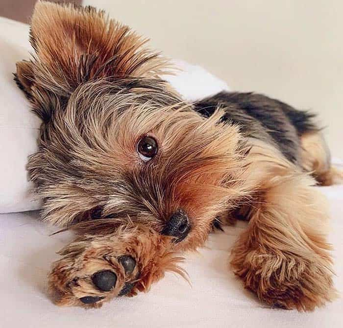 Fact-about-yorkie-poo-dog-breed
