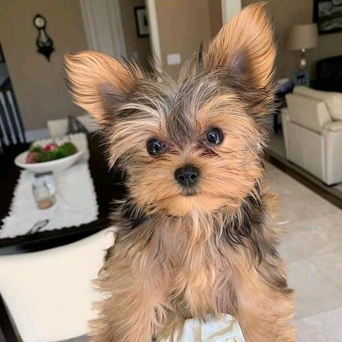 yorkie-poo-dog-breed