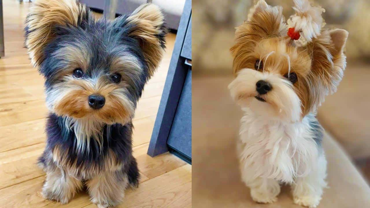 Fact About Yorkie Poo Dog Breed