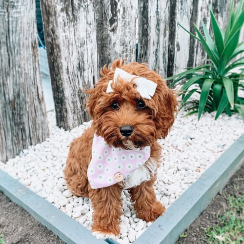 do-cavoodle-shed